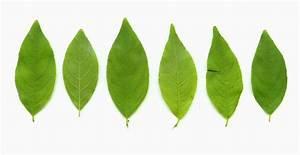 Rhamnus lanceolata page