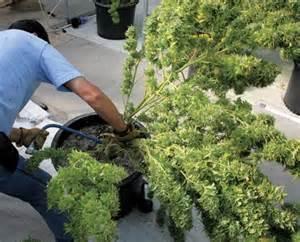 quand et comment r 233 colter plants de marijuana en exterieur