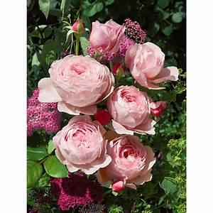Rosen Im Topf Pflege : englische rosen david austin h he ca 20 30 cm topf ~ Lizthompson.info Haus und Dekorationen