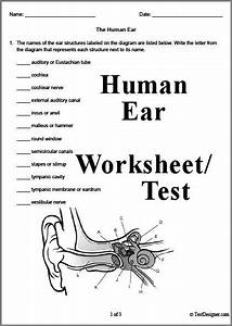 3 Page Human Ear Worksheet Or Test  Answer Key Can Also Be