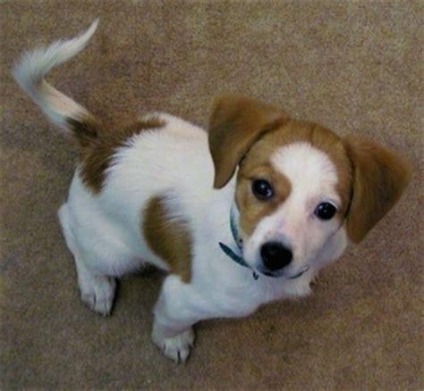 Beagle Pomeranian Mix Puppies