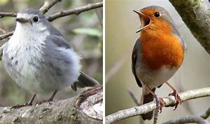 Mutant grey robin spotted in UK Nature News Express