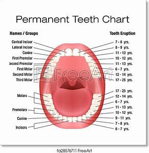 Diagram Of Human Teeth Numbering Charts