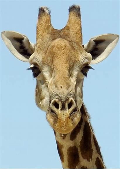 Animals Animated Animal Gifs Giraffe Animations Wild