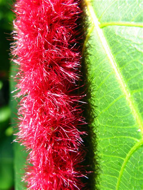 chenille plant chenille plant pictures meanings of chenille plants
