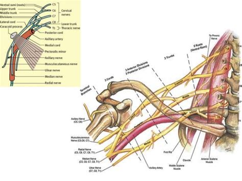 Brachial Plexus. Direct Quote Car Insurance Epson Fax Software. Fill Valve Toilet Repair Touro Online Courses. Commercial Real Estate In Brooklyn Ny. Create Your Own Photo Book Past Life Psychic. Audi Electrical Problems Cloud Based Websites. Medical Terminology Online Class. Online Event Planning Software. Garage Door Colorado Springs