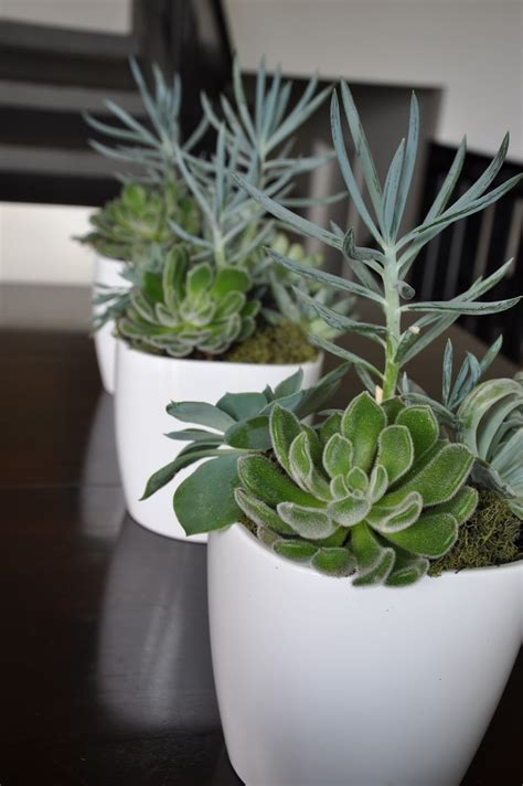 succulents in white pots growing