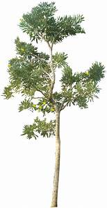 20 Tree PNG Images (Free Cutouts) for Architecture ...