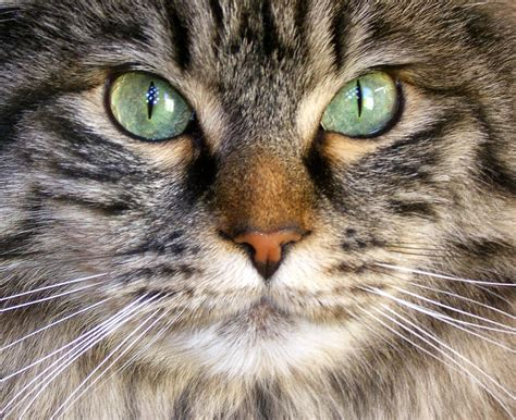 kitten eye color can a cat s change color find out more about your