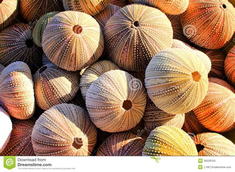 pores of color sea urchin shells stock images image 36228104