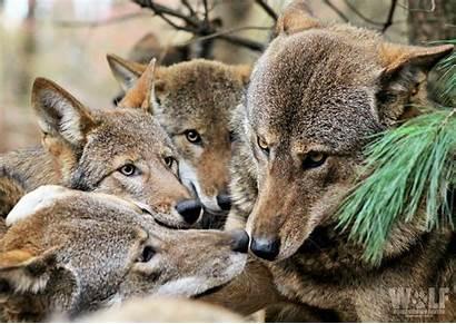Wolf Wolves Center Conservation Edit Frame Moose