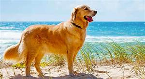 Golden Red River : how long do golden retrievers live a golden retriever lifespan guide ~ Orissabook.com Haus und Dekorationen
