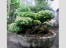 Bonsai Seruttrees