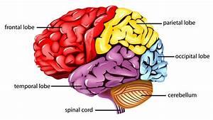 Occipital Lobe - Brain Regions  Library