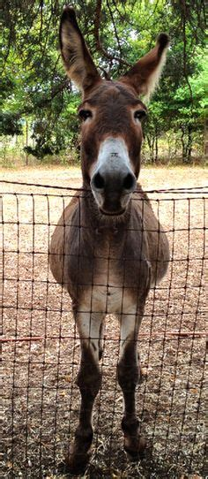 1000 Images About I Love Donkeys On Pinterest Donkeys