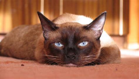 Siāmas kaķa izskats