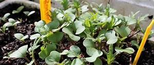 Planter Des Choux Fleurs : quand planter choux ~ Melissatoandfro.com Idées de Décoration