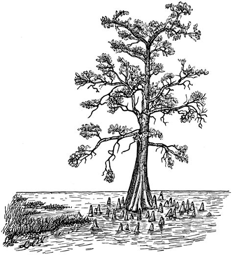 bald cypress  swamp form clipart