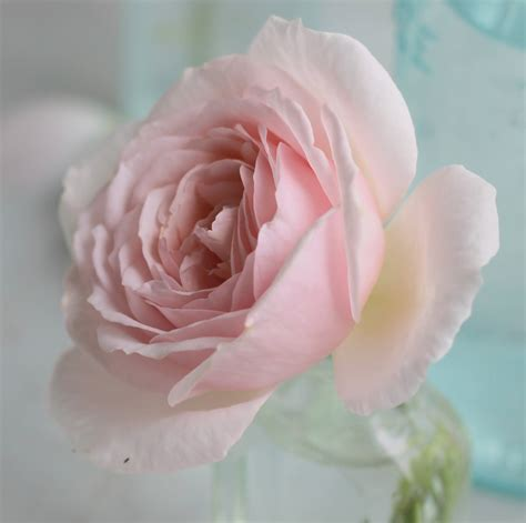 pink david roses 87 best images about flowers david austin roses on pinterest queen anne snow goose and