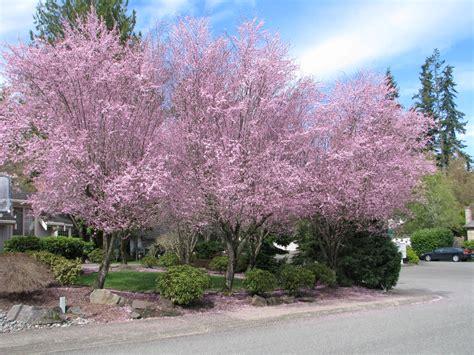 flowering plum rainyleaf