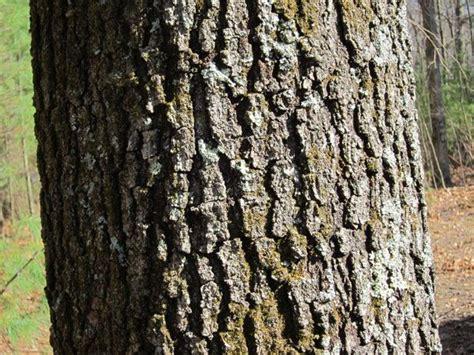 oak tree bark google search trees pinterest oak