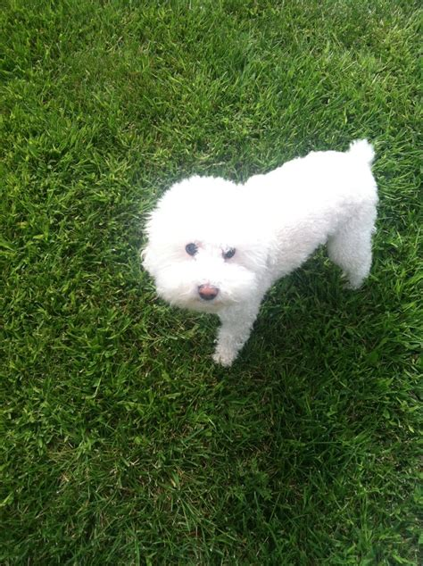 do bichon poodles shed 17 best images about for bemidji my puppy on