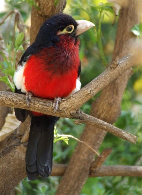 Double-toothed barbet - Wikipedia
