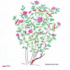Comment Planter Un Camélia : taille d un genet gen t plantation taille et conseils d 39 entretien gen t des canaries ~ Melissatoandfro.com Idées de Décoration