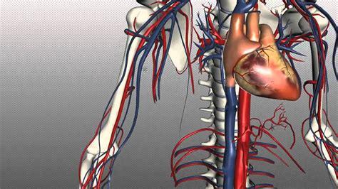 veins   body part  anatomy tutorial youtube