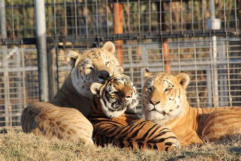 Most Beautiful Lions|tigers|ligers|tigons