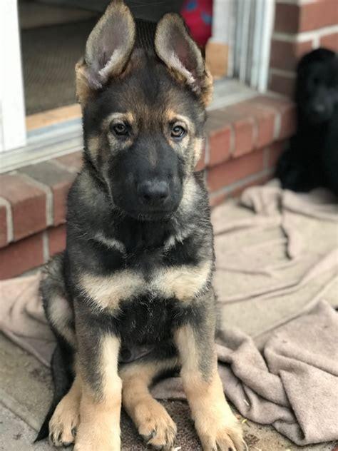 View Ad German Shepherd Dog Puppy For Sale Florida Pensacola Usa