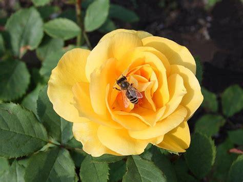 bedeutung gelbe bedeutung gelbe gelbe bedeutung sorten und pflege tipps was bedeutet die gelbe