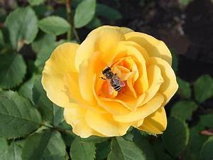 Gelbe Rose Bedeutung : blumen blumenlexikon und blumenkatalog ~ Whattoseeinmadrid.com Haus und Dekorationen