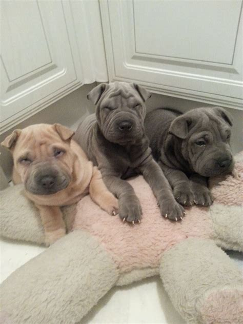 Do Shar Peis Shed A Lot by Shar Pei For Sale Breeds Picture