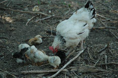 comment cuisiner une poule tuer un poulet m 233 thode douce pour le tueur ah si