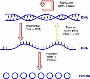 Flow Of Information In A Cell  Diagram Explaining The Central Dogma Of