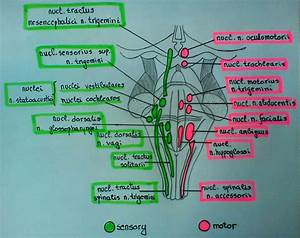 Cranial Nerve Nuclei In Brainstem  Schema   With Images