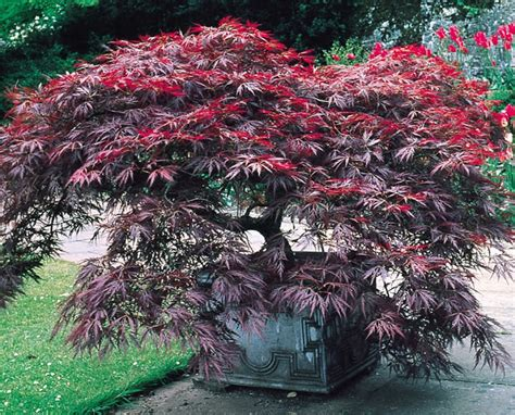 planting a japanese maple how to grow japanese maples from seed the garden of eaden