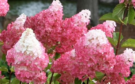 strawberry vanilla hydrangea buy vanilla strawberry hydrangea 3 gallon shrubs