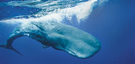 sperm whales deadly call science smithsonian
