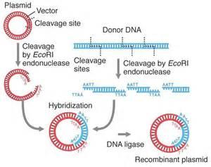 Plasmid Recombinant DNA
