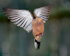 145 best images about Birds: Doves and Pigeons on ...
