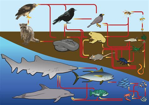 food web diagram marine ecosystem webs chains chain svg sea file water land commons animals wikimedia environmental grouper definition example