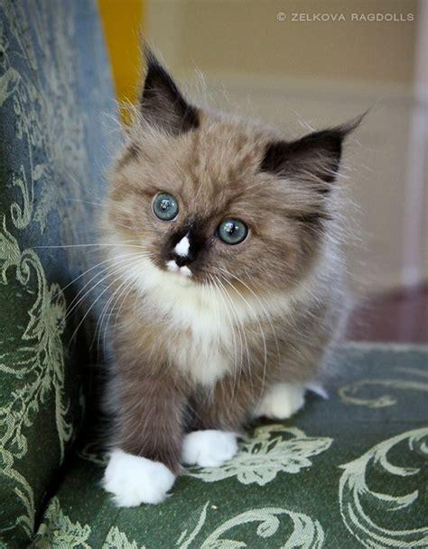 do ragdoll cats shed do ragdoll cats shed mejor conjunto de frases