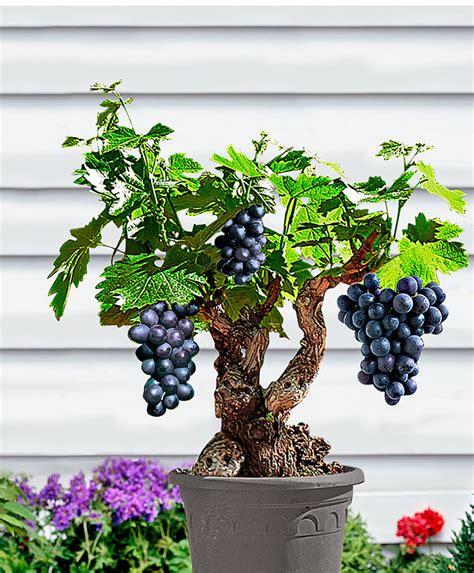 achetez maintenant une plante en pot vigne syrah bakker