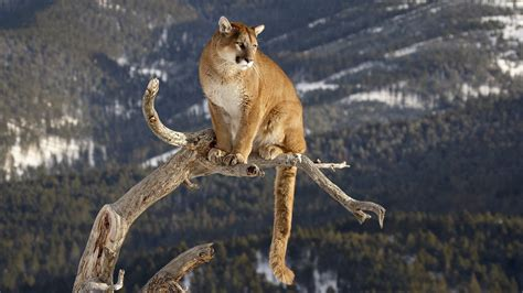 Animal Wallpaper 1920x1080 - pumas wallpaper 62 images