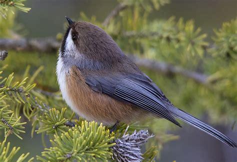 boreal chickadee audubon field guide