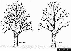 Crown Thinning  Pruning