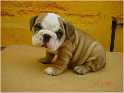 raza de perro enana fotos de razas de perros