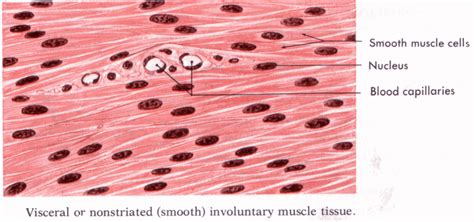 Vascular smooth muscle is the type of smooth muscle that makes up most of the walls of blood vessels. Ciencias 4to grado: Muscular System
